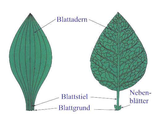 einkeimblttrige pflanzen by simone heller on prezi - Einkeimblattrige Pflanzen Beispiele
